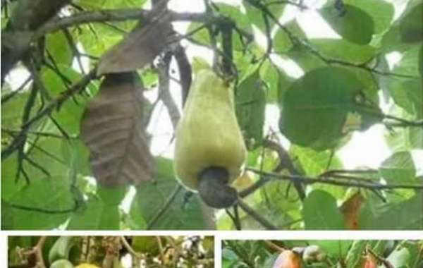 Cashew fruit cures the following illness permanently.